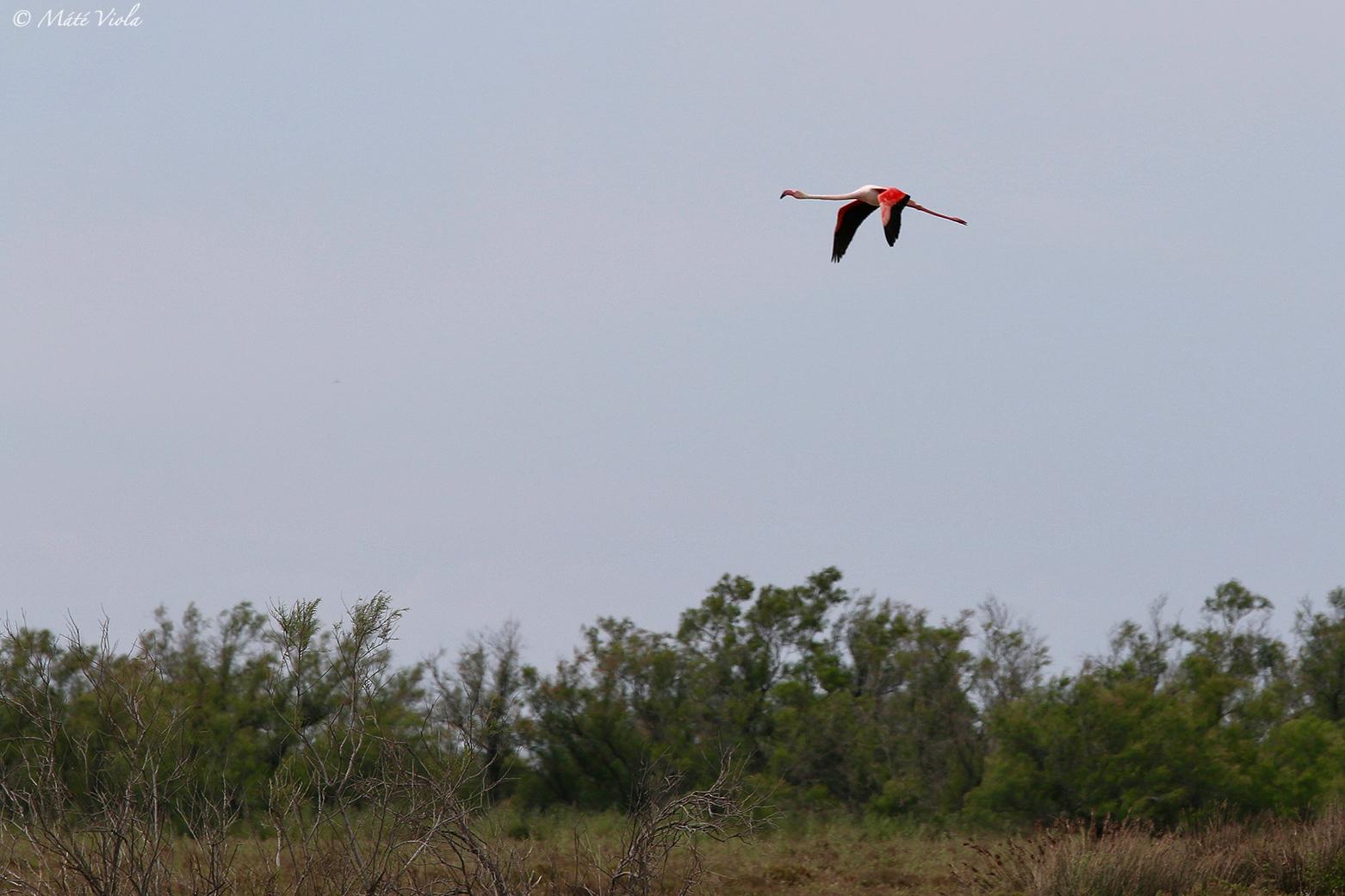 Phoenicopterus roseus