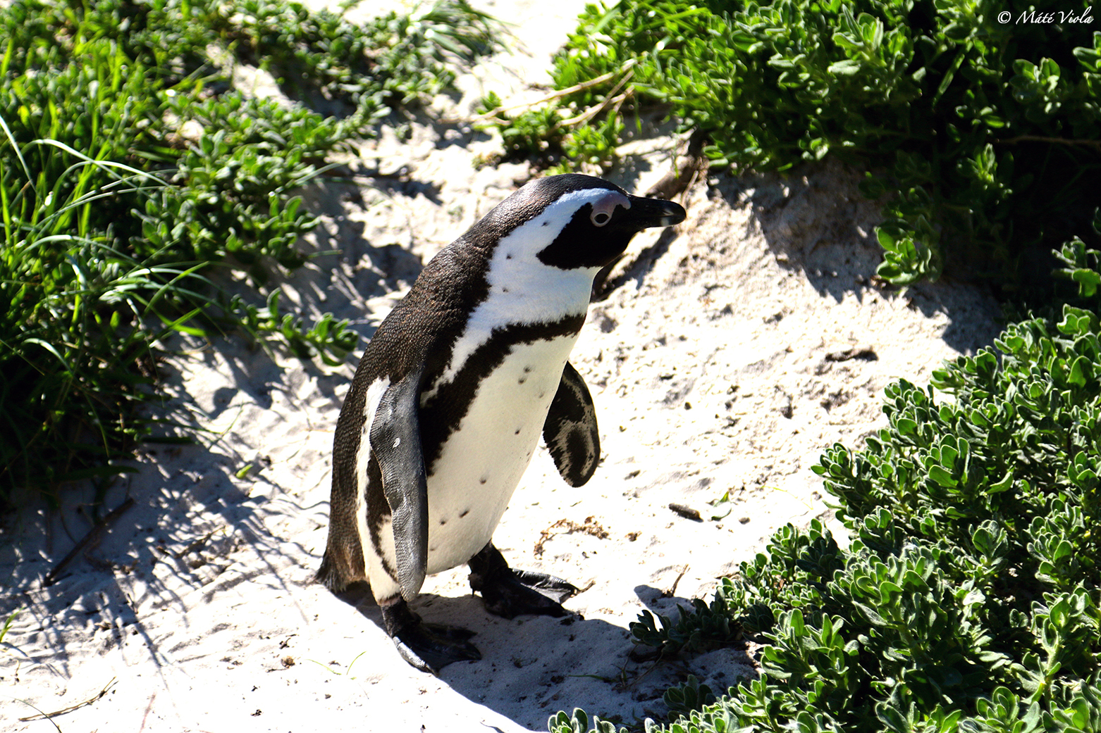 Afrikai pingvin
