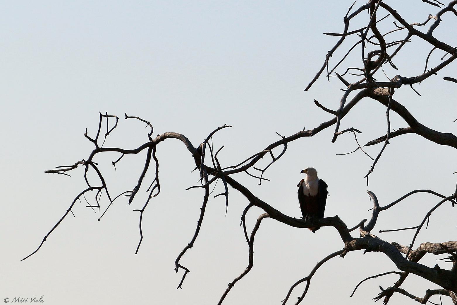 Haliaeetus vocifer