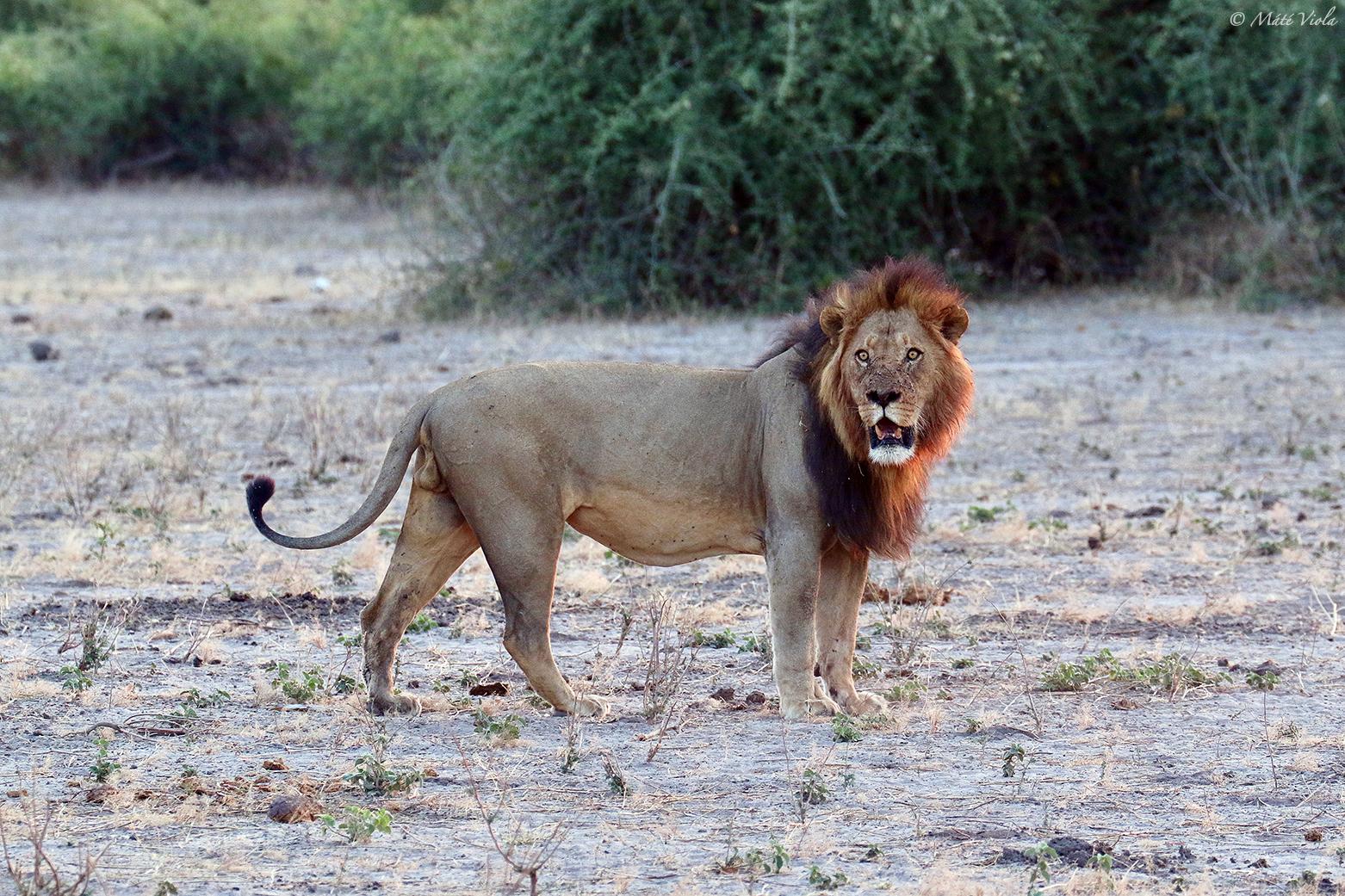 Az állatok királya