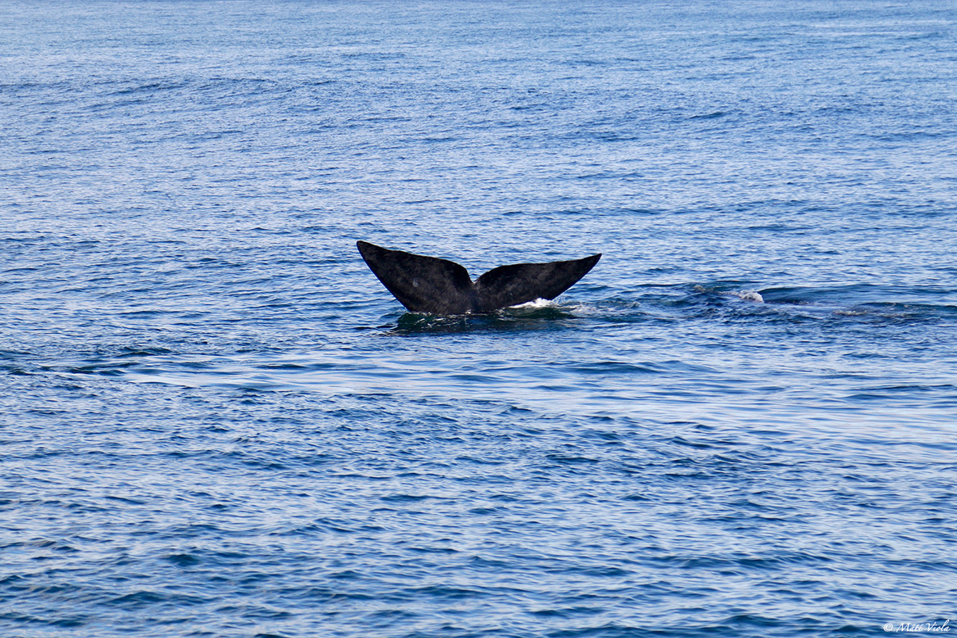 La baleine australe