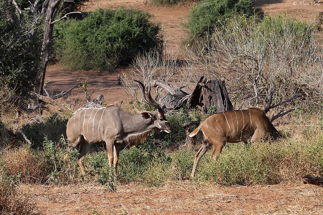 Nagy kudu