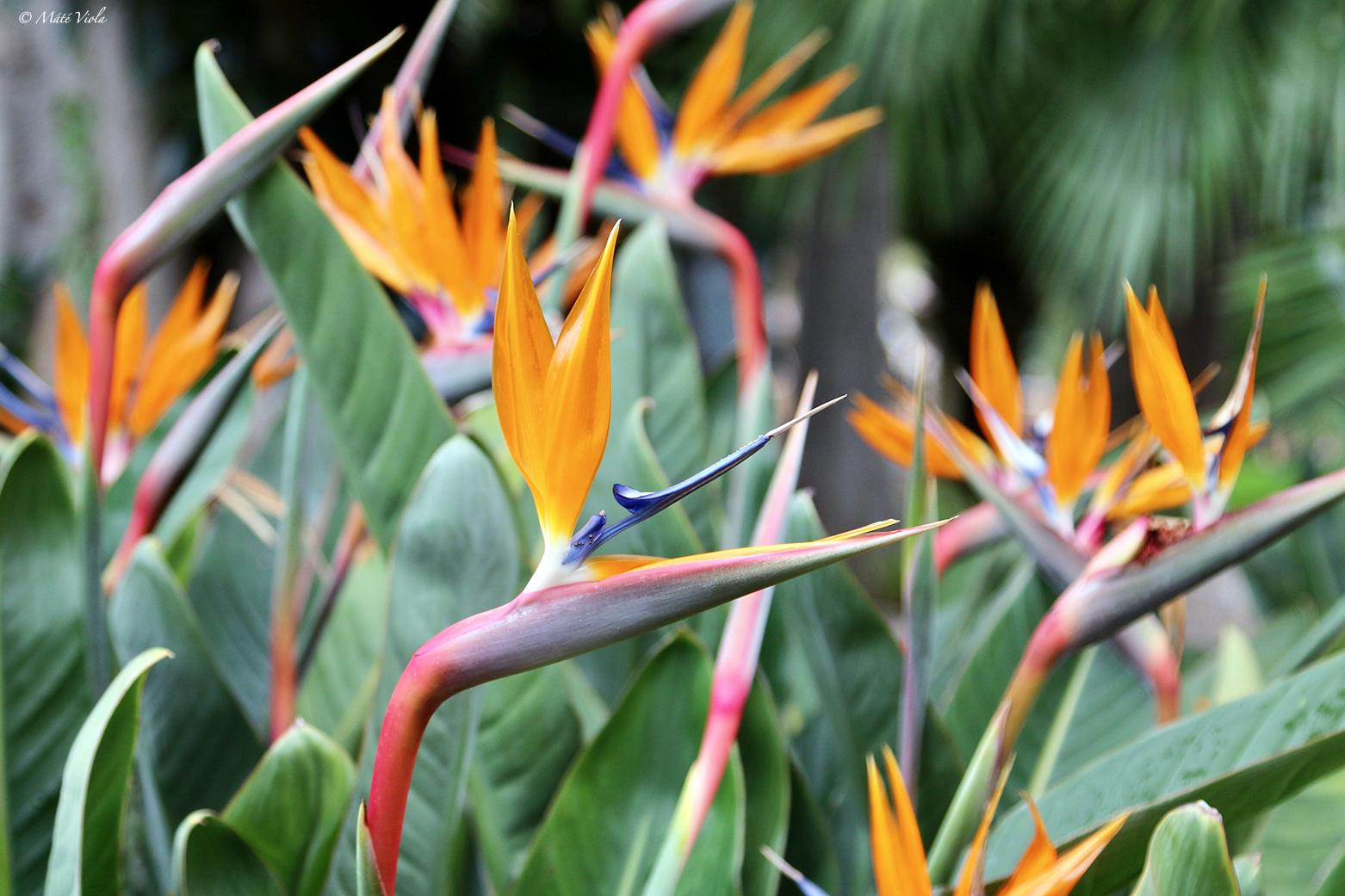 Pompás papagájvirág